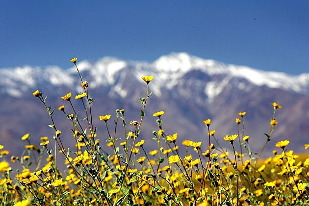 Record Rains Bring Rare Wildflowers To Death Valley
